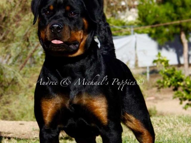 am-rottweiler-puppy