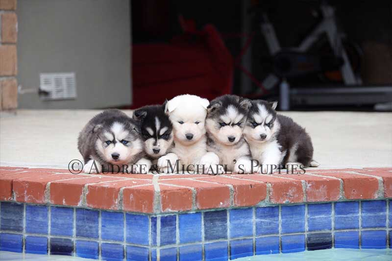 Audree Michael S Puppies Siberian Huskies Rotweiller Dogs