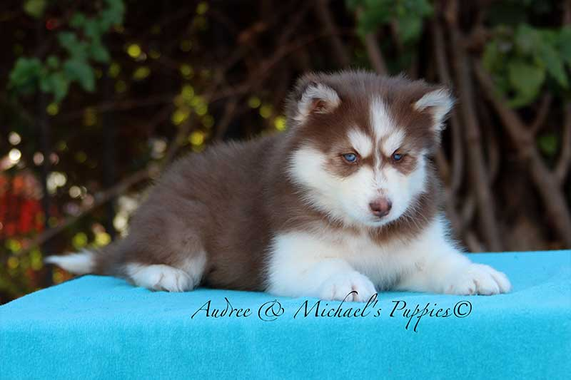 leah siberian husky puppy
