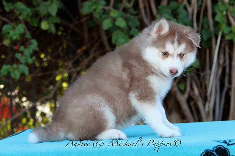 lola-siberian-husky-puppy