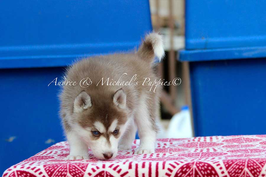 sasha-siberian-husky