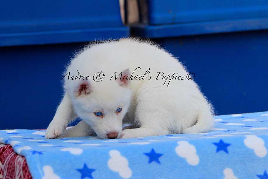 snow-white-siberian-husky