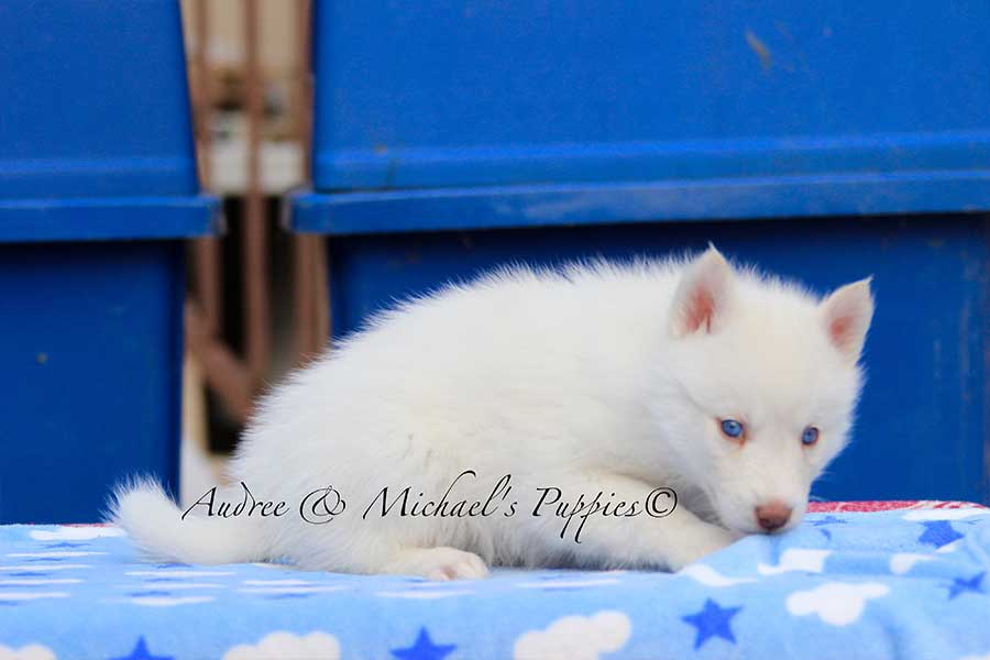 snowball-siberian-husky