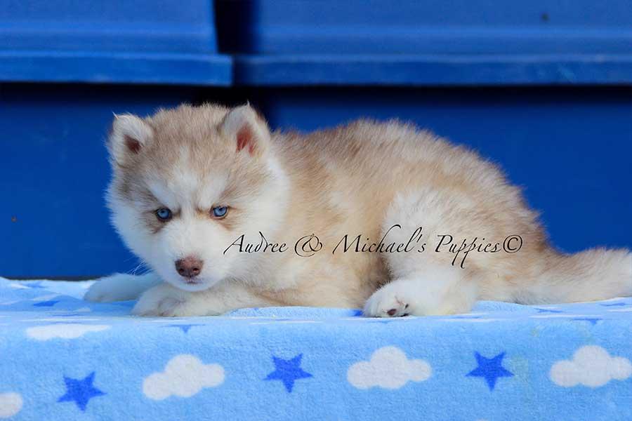 oasis-siberian-husky
